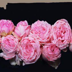 rosa Rosen: junge Liebe, Dankbarkeit, Anerkennung