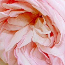 Rose, wie bist du reizend und mild! Du bist der Unschuld liebliches Bild. Rose, du trinkest himmlischen Tau, schmückest den Busen, Garten und Au. Du, die zur Gabe ich mir erkor, lächelst aus Dornen freundlich hervor. Sendest noch sterbend Düfte uns zu Rose, du Holde! Leben und sterben will ich wie du.  Johann Jakob Ihle (1702 - 1774), deutscher Maler