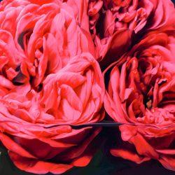 rote Rosen: bedingungslose Liebe, Leidenschaft und Treue